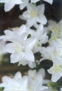 Корея - цветы